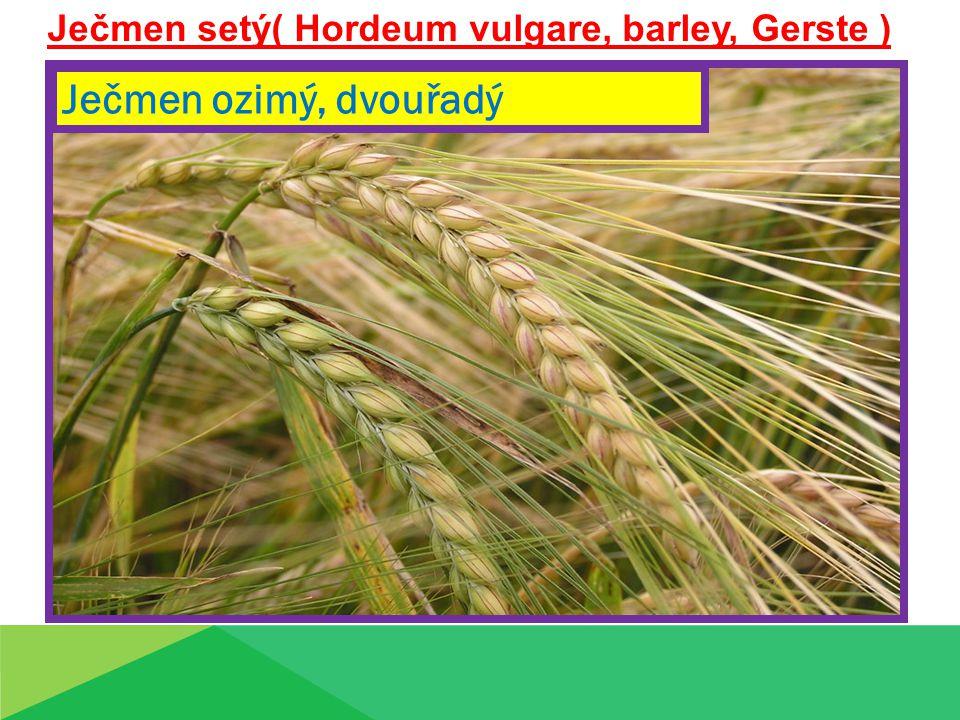 Ječmen setý( Hordeum vulgare, barley, Gerste )