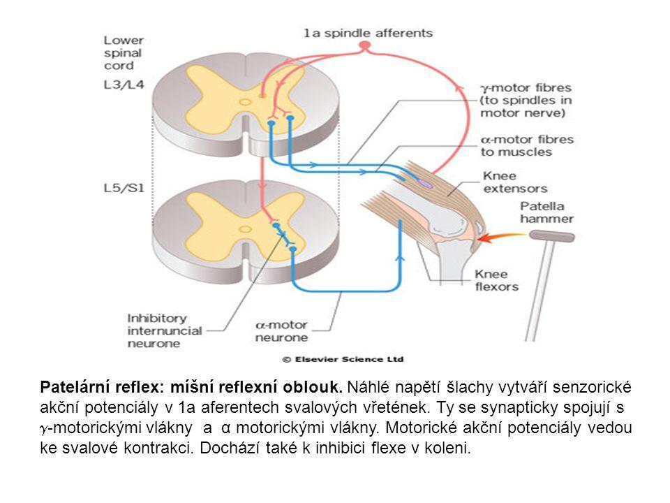 Patelární reflex: míšní reflexní oblouk