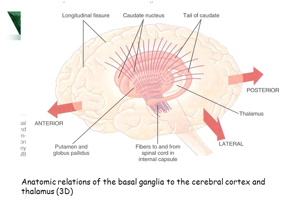 Anatomic relations of the basal ganglia to the cerebral cortex and thalamus (3D)