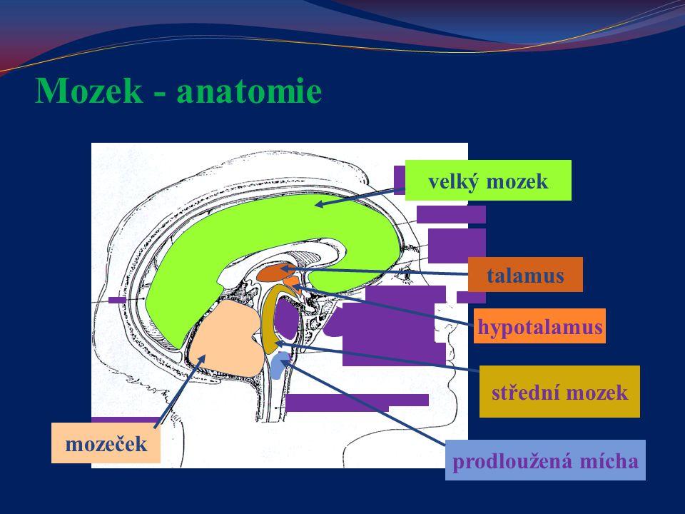 Mozek - anatomie velký mozek talamus hypotalamus střední mozek mozeček