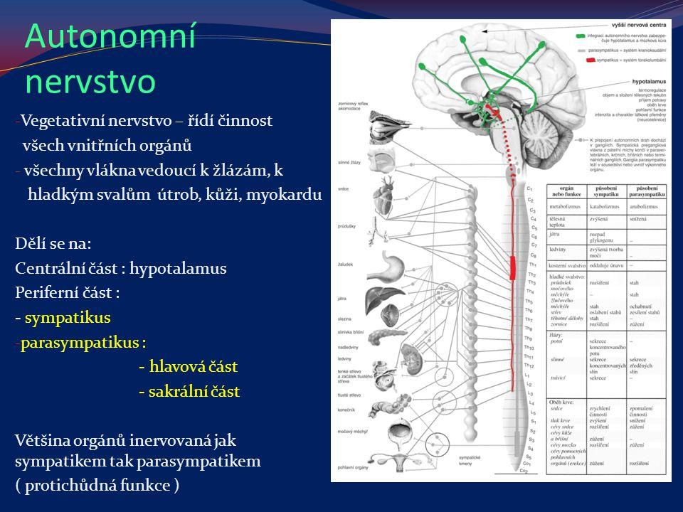 Autonomní nervstvo Vegetativní nervstvo – řídí činnost