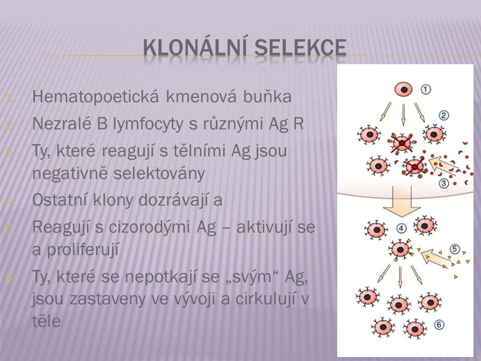 Klonální selekce Hematopoetická kmenová buňka
