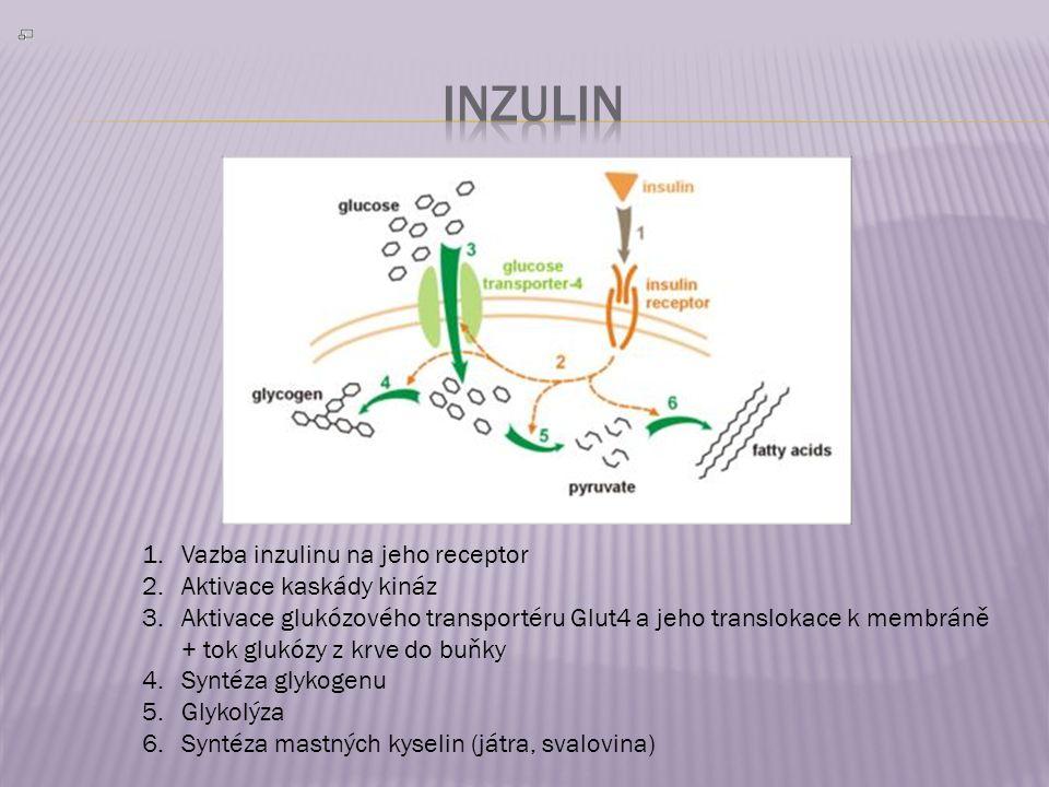 Inzulin Vazba inzulinu na jeho receptor Aktivace kaskády kináz