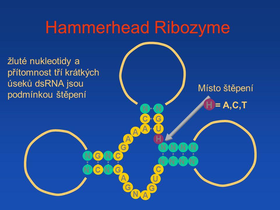 Hammerhead Ribozyme žluté nukleotidy a přítomnost tří krátkých úseků dsRNA jsou podmínkou štěpení. Místo štěpení.