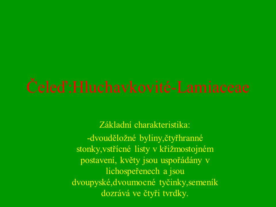 Čeleď:Hluchavkovité-Lamiaceae
