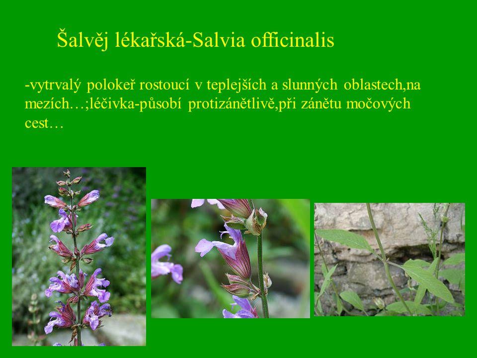 Šalvěj lékařská-Salvia officinalis