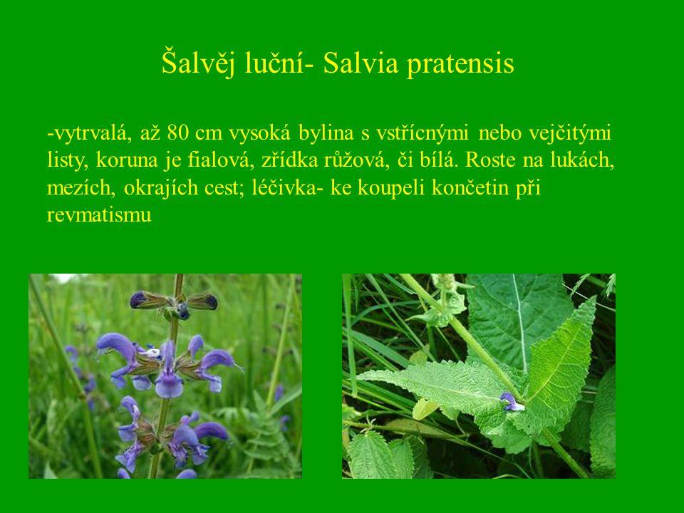 Šalvěj luční- Salvia pratensis