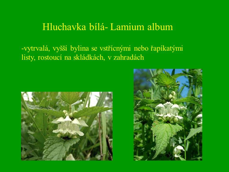 Hluchavka bílá- Lamium album