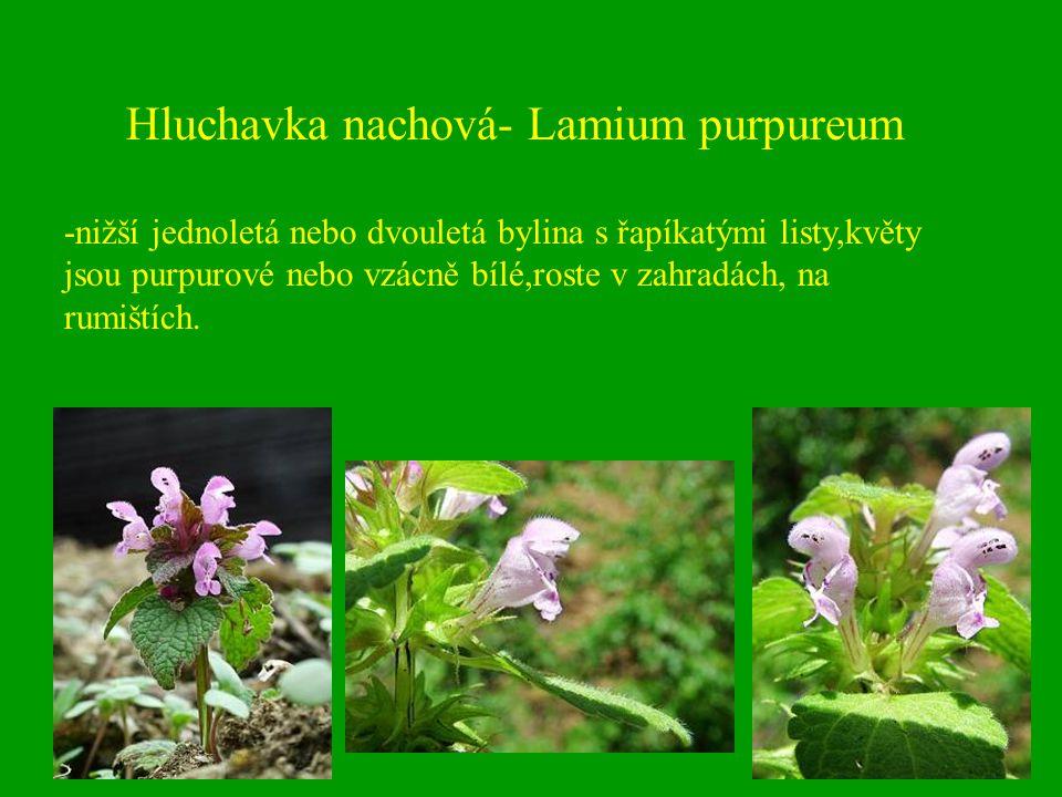 Hluchavka nachová- Lamium purpureum