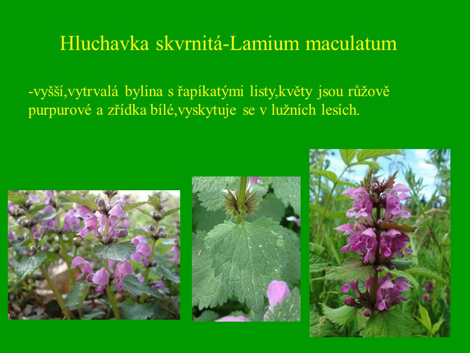 Hluchavka skvrnitá-Lamium maculatum