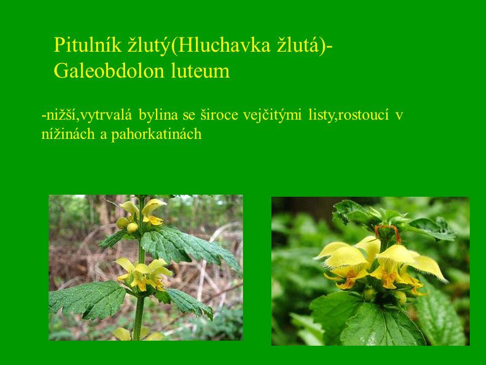 Pitulník žlutý(Hluchavka žlutá)-Galeobdolon luteum