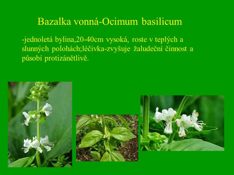Bazalka vonná-Ocimum basilicum