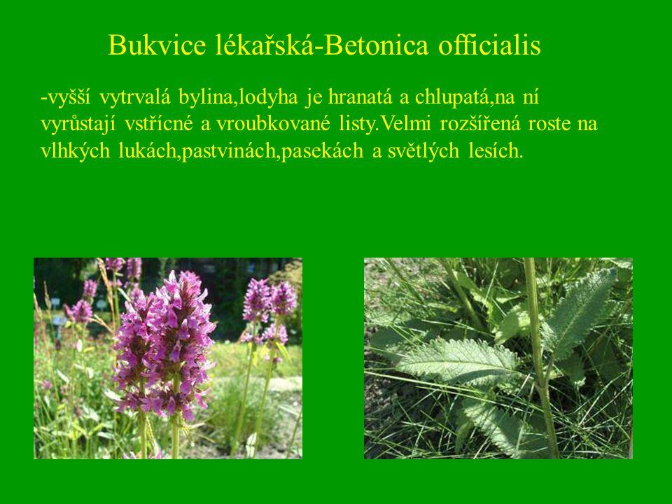 Bukvice lékařská-Betonica officialis