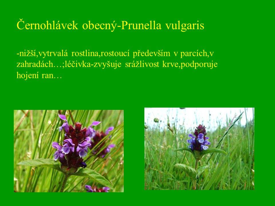 Černohlávek obecný-Prunella vulgaris