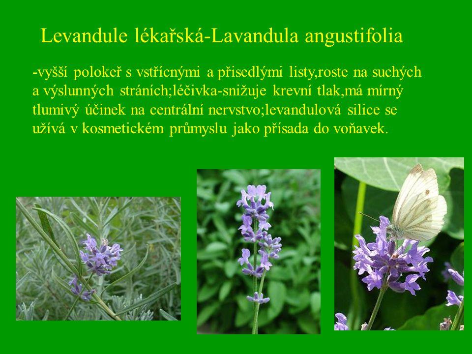 Levandule lékařská-Lavandula angustifolia