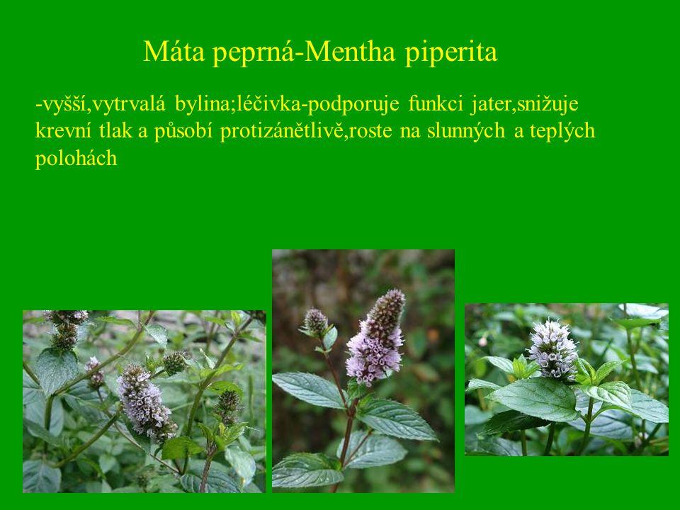Máta peprná-Mentha piperita