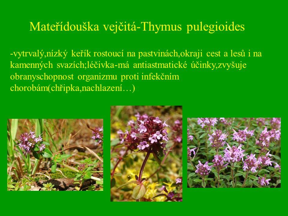 Mateřídouška vejčitá-Thymus pulegioides