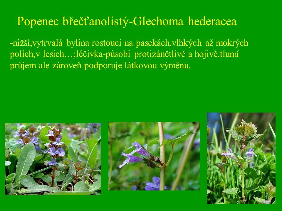 Popenec břečťanolistý-Glechoma hederacea