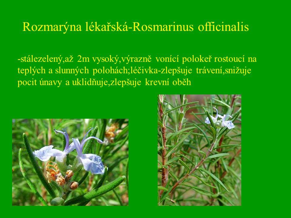 Rozmarýna lékařská-Rosmarinus officinalis