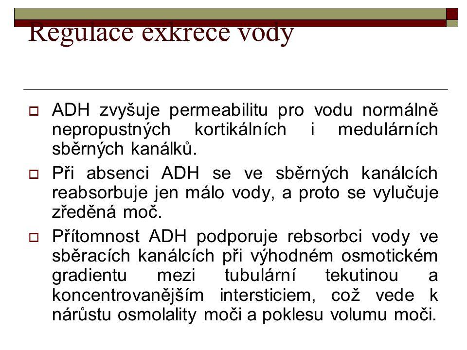 Regulace exkrece vody ADH zvyšuje permeabilitu pro vodu normálně nepropustných kortikálních i medulárních sběrných kanálků.