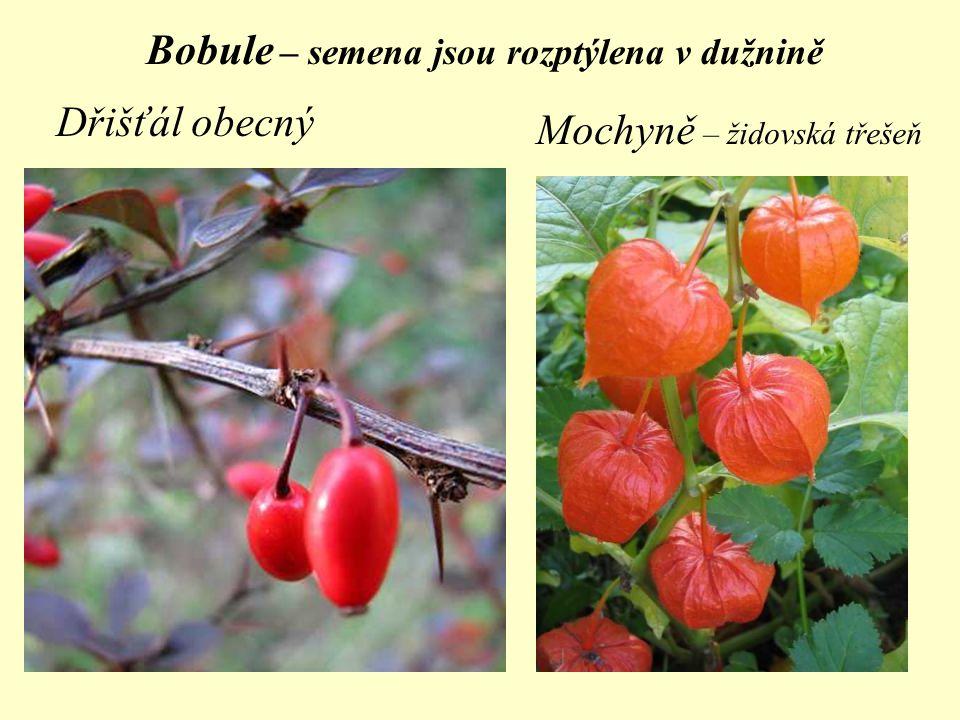 Bobule – semena jsou rozptýlena v dužnině