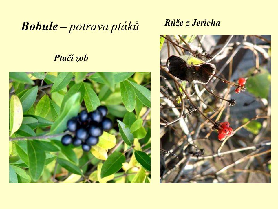 Růže z Jericha Bobule – potrava ptáků Ptačí zob