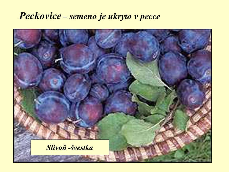 Peckovice – semeno je ukryto v pecce