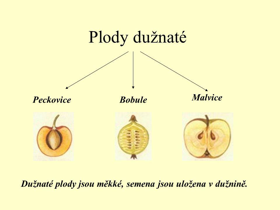Plody dužnaté Malvice Peckovice Bobule
