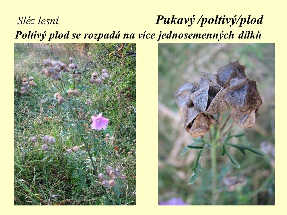 Pukavý /poltivý/plod Sléz lesní