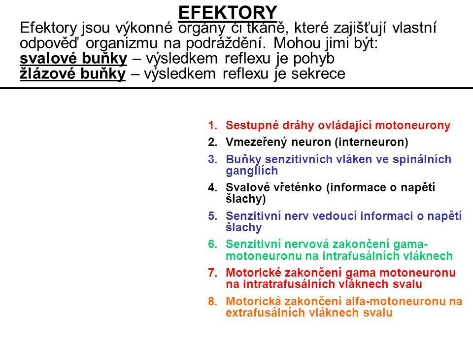 EFEKTORY Efektory jsou výkonné orgány či tkáně, které zajišťují vlastní odpověď organizmu na podráždění. Mohou jimi být: