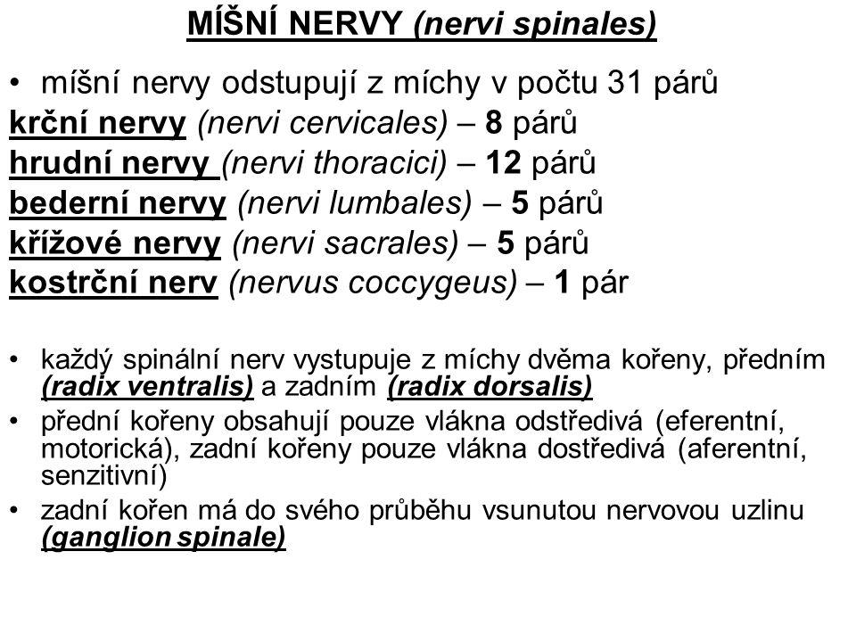 MÍŠNÍ NERVY (nervi spinales)