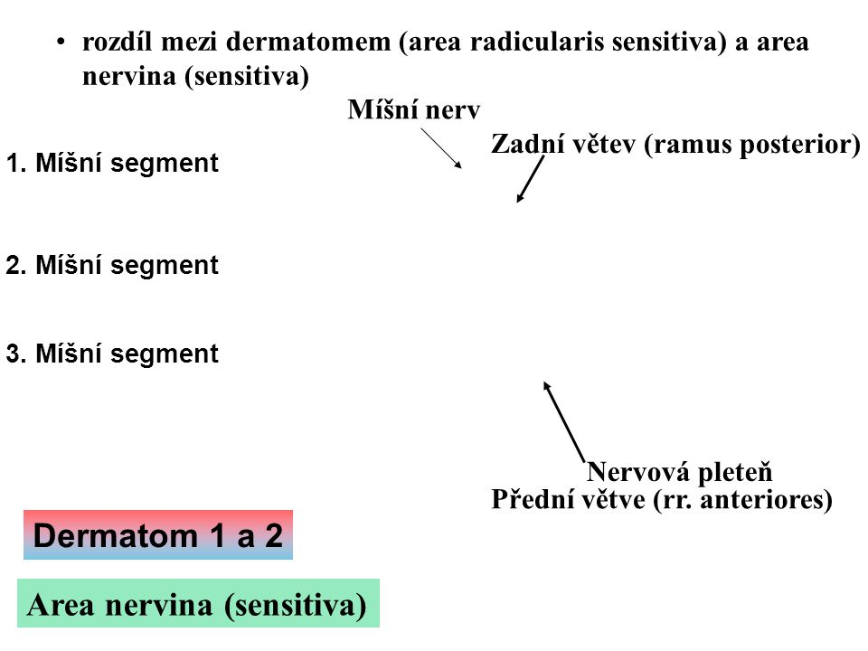 Area nervina (sensitiva)