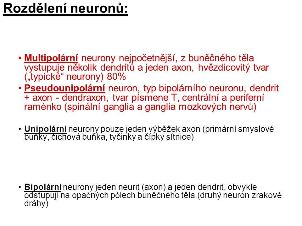 Rozdělení neuronů: