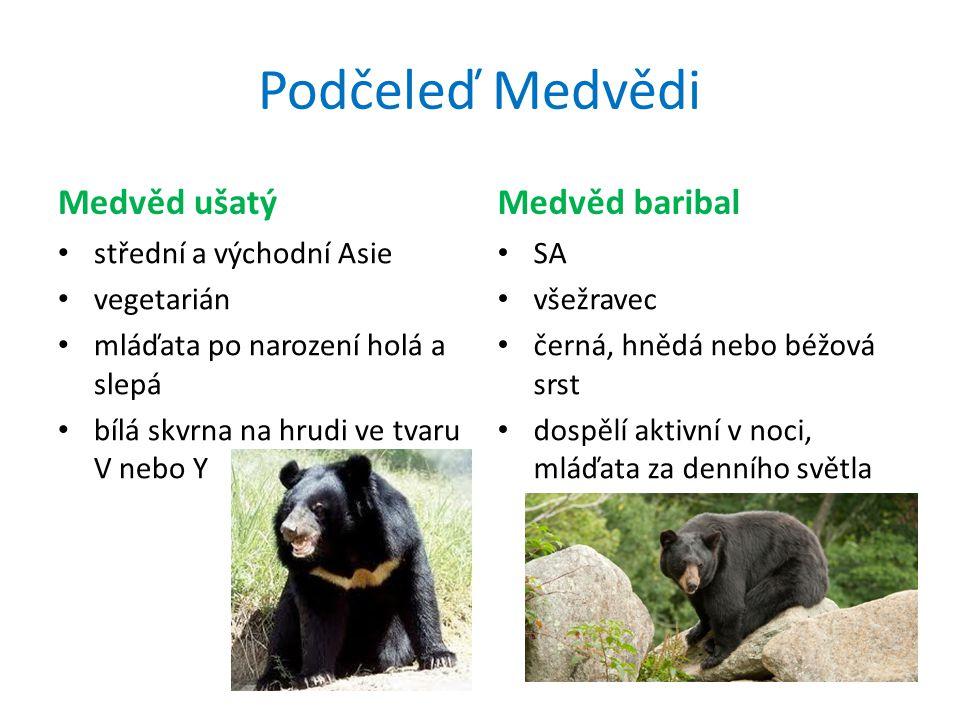 Podčeleď Medvědi Medvěd ušatý Medvěd baribal střední a východní Asie