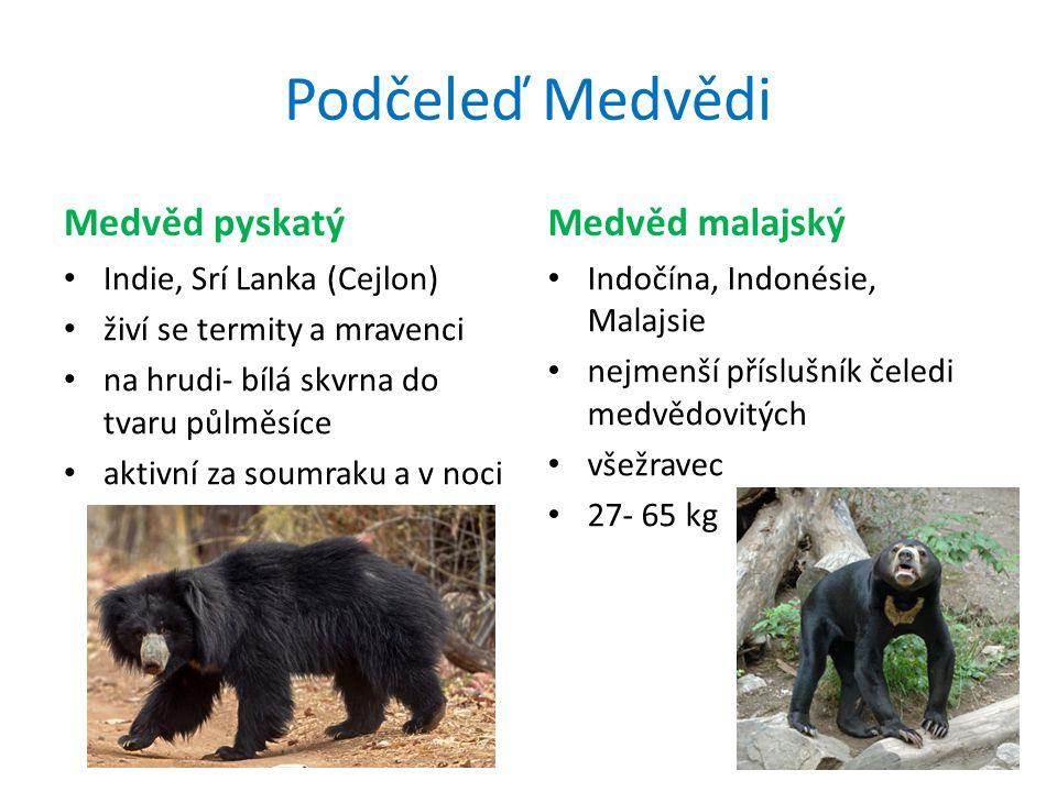 Podčeleď Medvědi Medvěd pyskatý Medvěd malajský