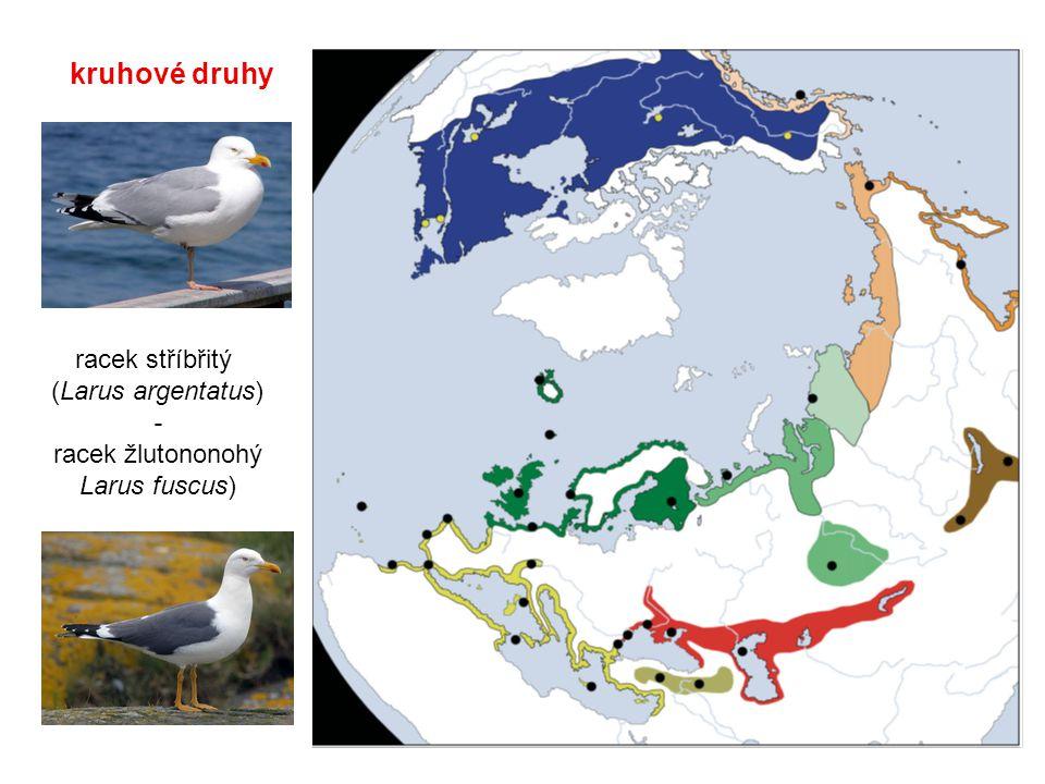 kruhové druhy racek stříbřitý (Larus argentatus) - racek žlutononohý