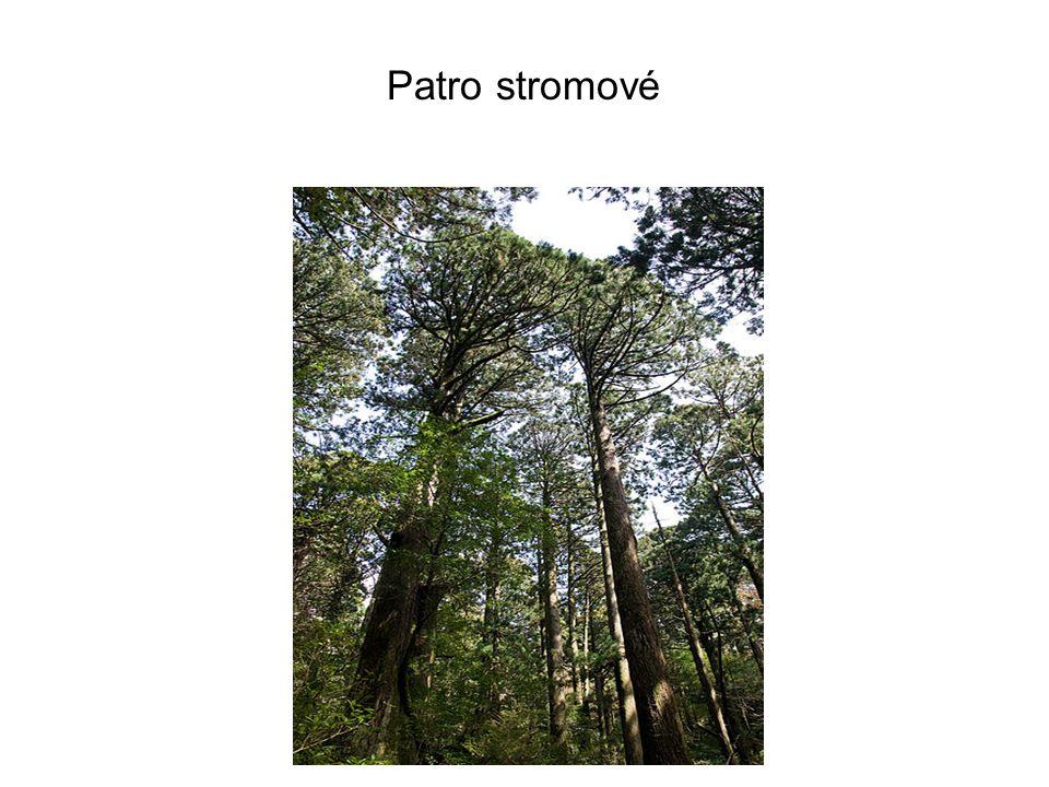 Patro stromové