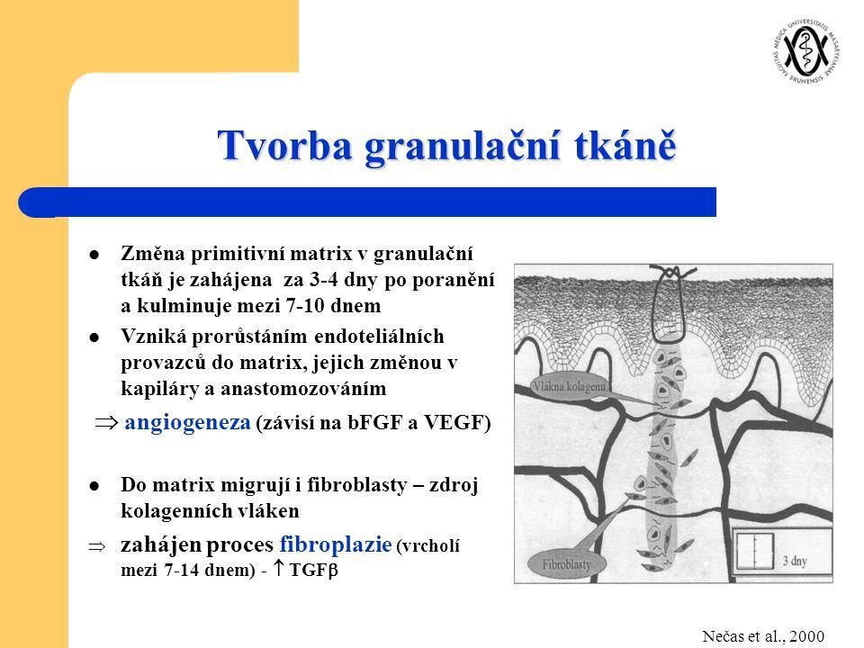 Tvorba granulační tkáně