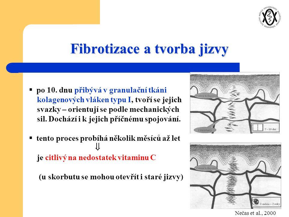Fibrotizace a tvorba jizvy