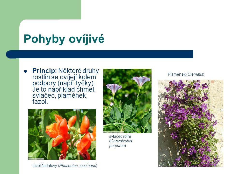Pohyby ovíjivé Princip: Některé druhy rostlin se ovíjejí kolem podpory (např. tyčky). Je to například chmel, svlačec, plamének, fazol.