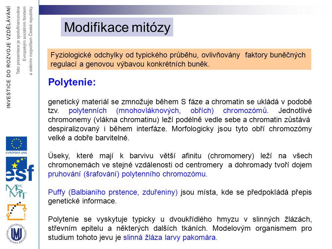 Modifikace mitózy Polytenie: