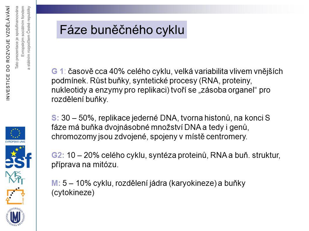 Fáze buněčného cyklu