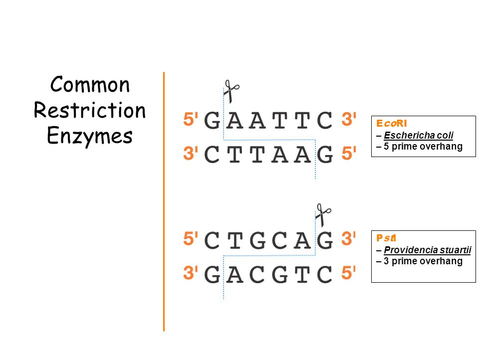 Common Restriction Enzymes