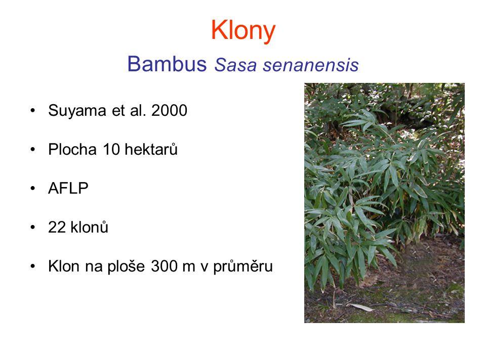 Klony Bambus Sasa senanensis