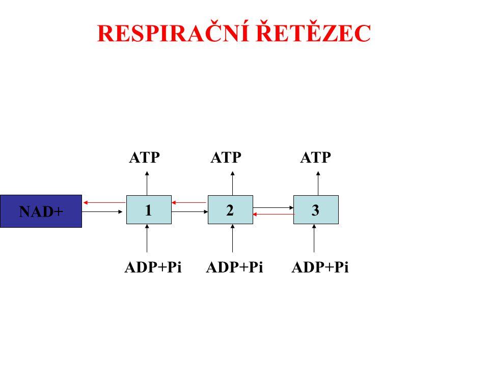 RESPIRAČNÍ ŘETĚZEC ATP ATP ATP NAD+ NADH2 1 2 3 ADP+Pi ADP+Pi ADP+Pi