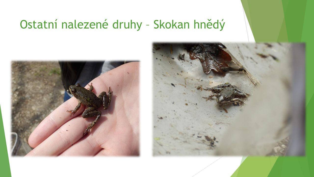 Ostatní nalezené druhy – Skokan hnědý
