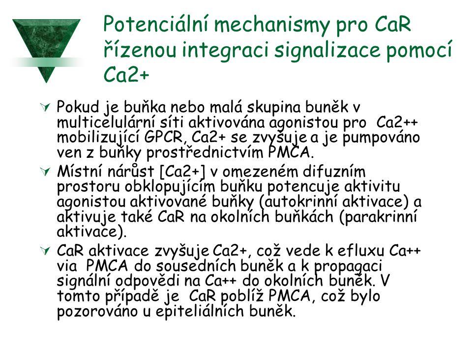 Potenciální mechanismy pro CaR řízenou integraci signalizace pomocí Ca2+