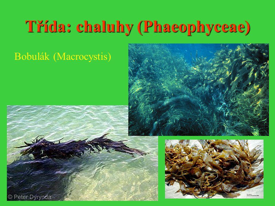 Třída: chaluhy (Phaeophyceae)