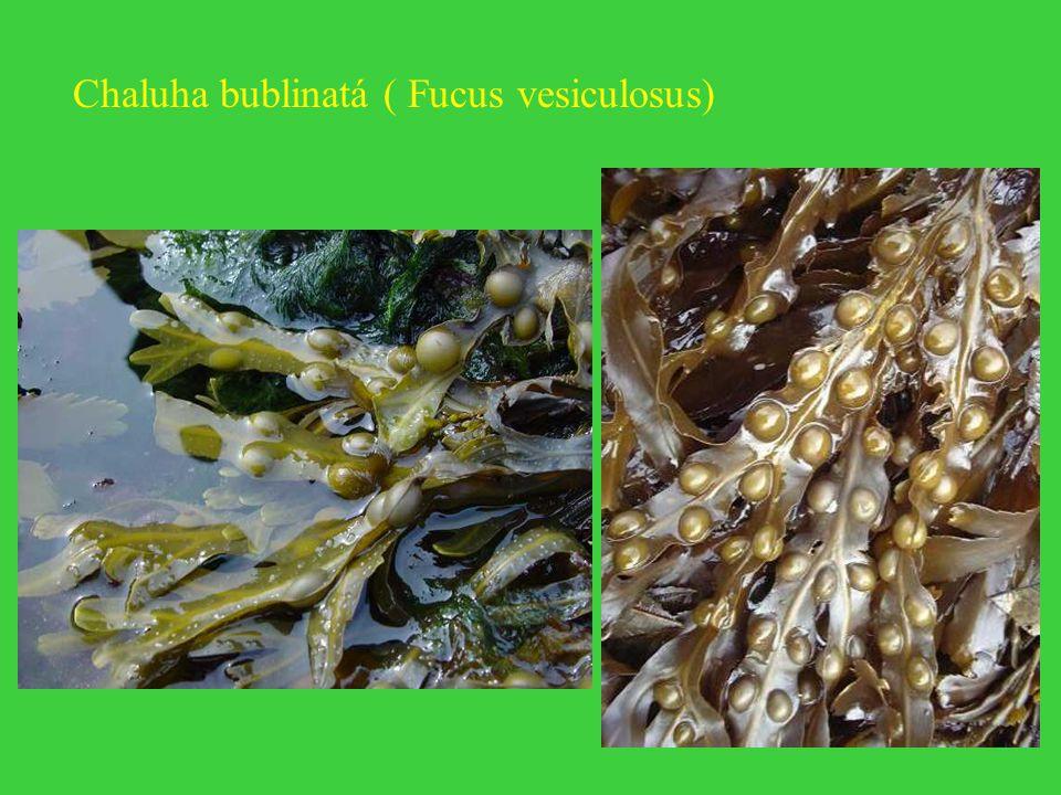 Chaluha bublinatá ( Fucus vesiculosus)