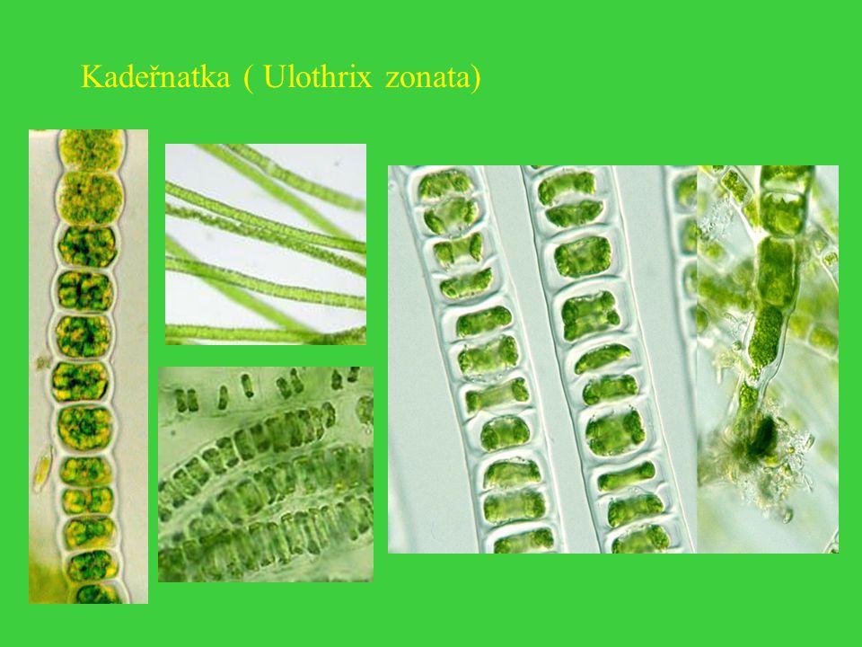 Kadeřnatka ( Ulothrix zonata)